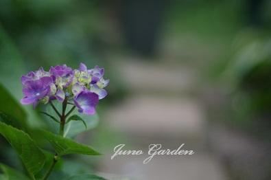14挿し木紫陽花