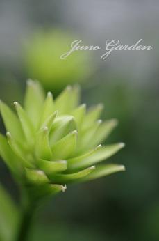 庭ギボウシ