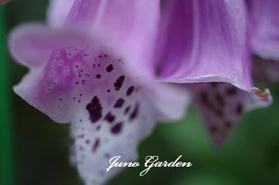 142番花ジキタリス