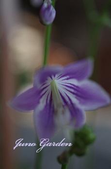 0702ギボウシ花