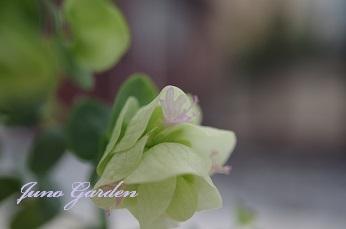 14オレガノ花