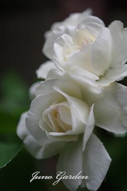 白バラ0704