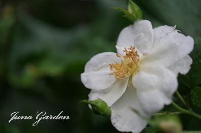 ホワイトスター0714