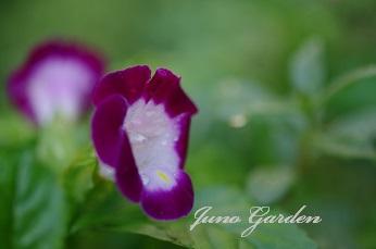 赤紫トレニア