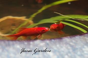 07231金魚