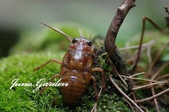 0724セミの幼虫