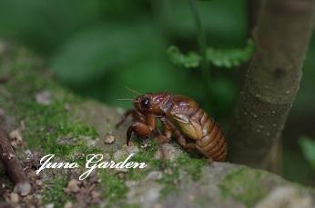 07241セミ幼虫