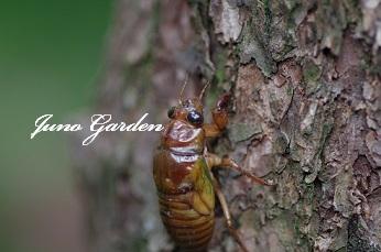 07242セミ幼虫