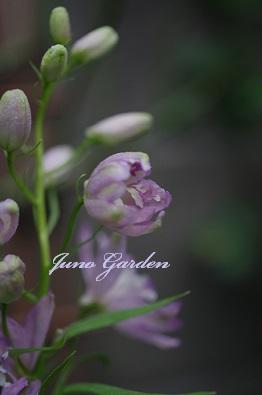 0729デルフイニューム紫