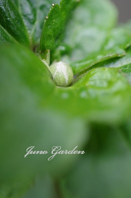 0821しゅうめい菊