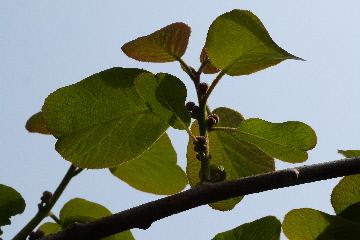 キウイフルーツの花の蕾