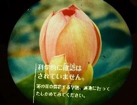 ハスの花が咲くときポンと音がする