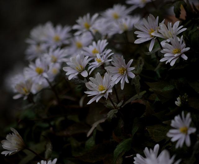 白花雪割一華
