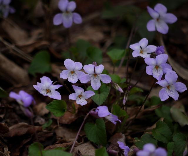 長葉の立坪菫