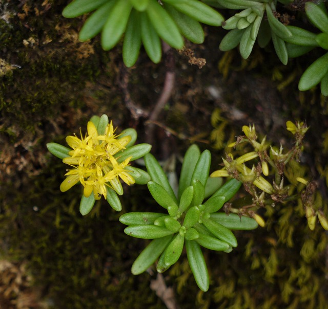 オオメノマンネングサ~残り花