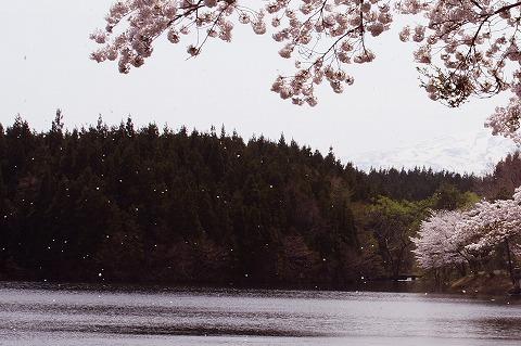 桜吹雪 a DSC03679