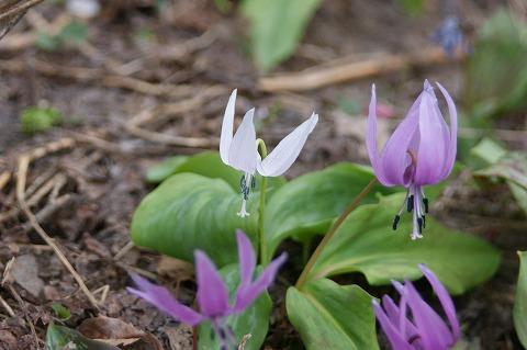 白いカタクリの花DSC04467