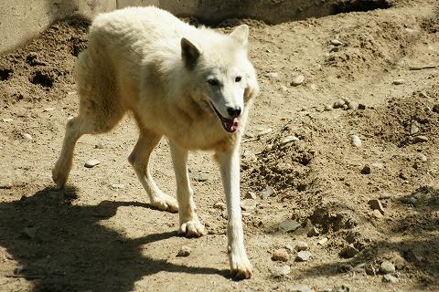 シンリンオオカミDSC03783