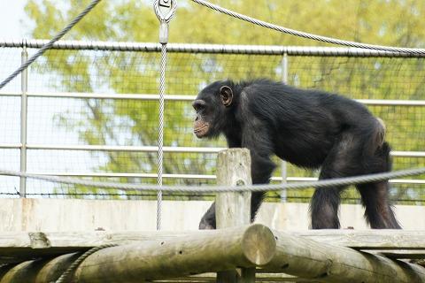 チンパンジーDSC03872