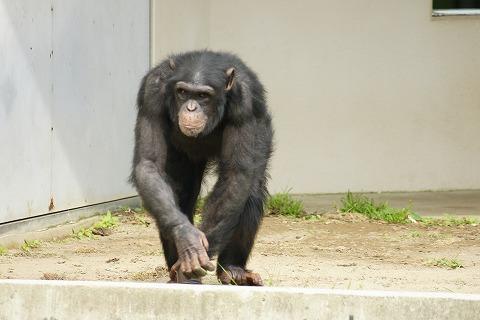 チンパンジーDSC03875