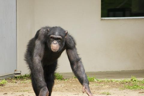 チンパンジーDSC03876