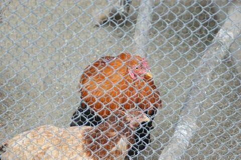 比内鶏DSC04580
