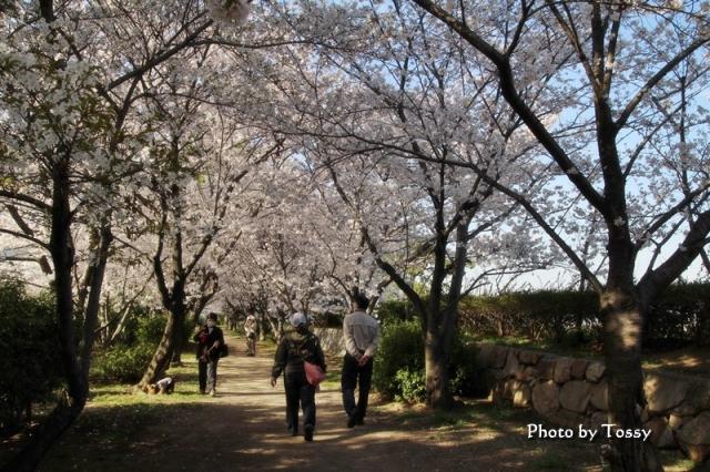 桜のトンネル お散歩