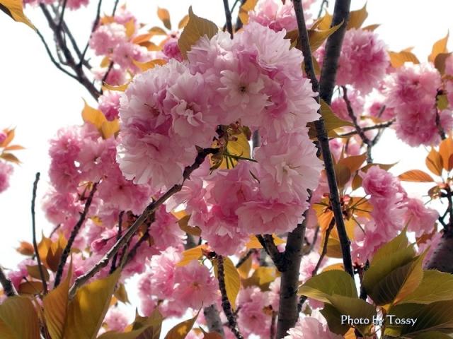 宝塚海軍航空隊八重桜