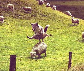 おおかみの羊馬跳び