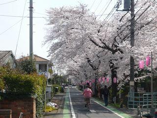 14_朝桜_1