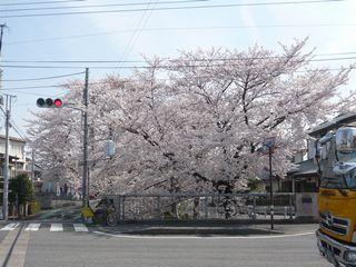 14_朝桜_2