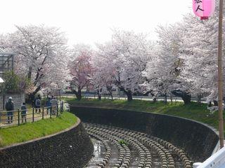 14_朝桜_3