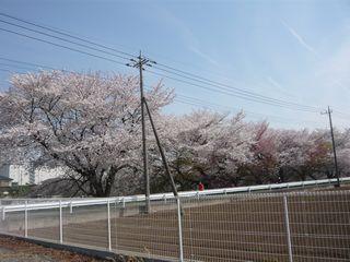 14_朝桜_4