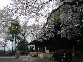 14_神社桜_2