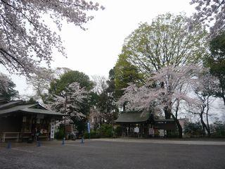 14_神社桜_3