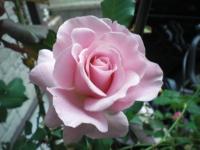 ピンク・フレンチレース