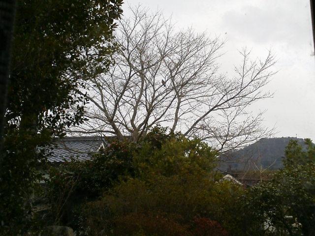 314sakura.jpg