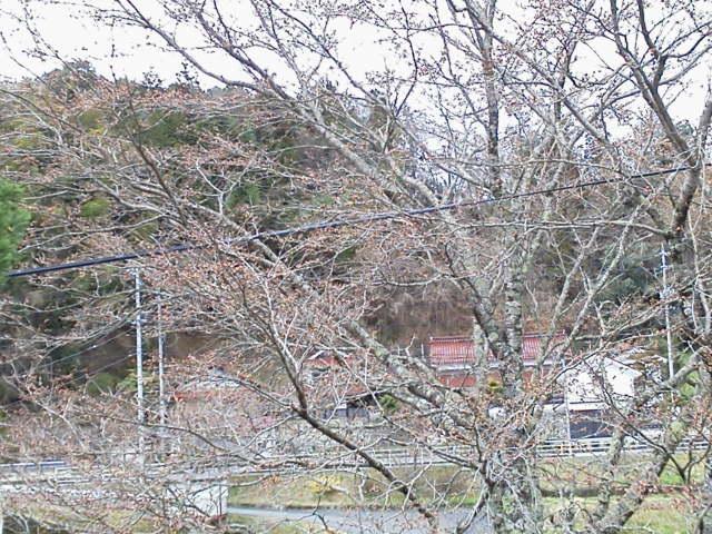 330sakura.jpg