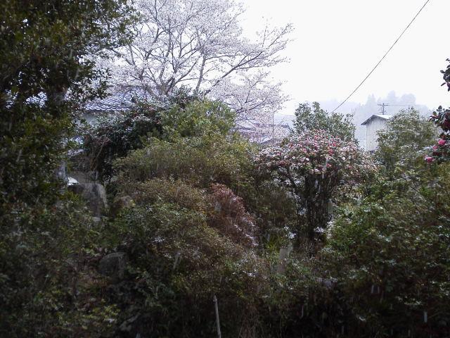 405sakurayuki.jpg