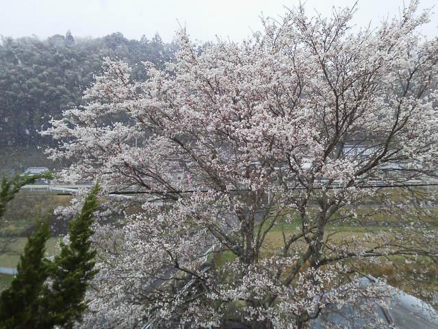 405sakurayuki4.jpg
