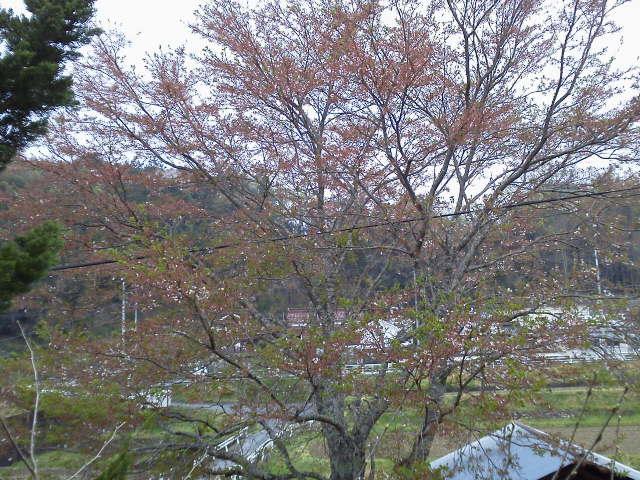 418sakura_2014041820435851d.jpg