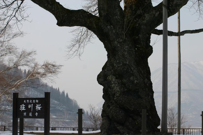 荘川町~国道156号線 御母衣ダム~世界遺産白川郷合掌集落 新緑が美しい4月下旬から5月 上旬に荘川桜が咲き始めます! ⑧