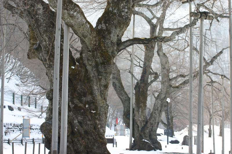 荘川町~国道156号線 御母衣ダム~世界遺産白川郷合掌集落 新緑が美しい4月下旬から5月 上旬に荘川桜が咲き始めます! ⑪