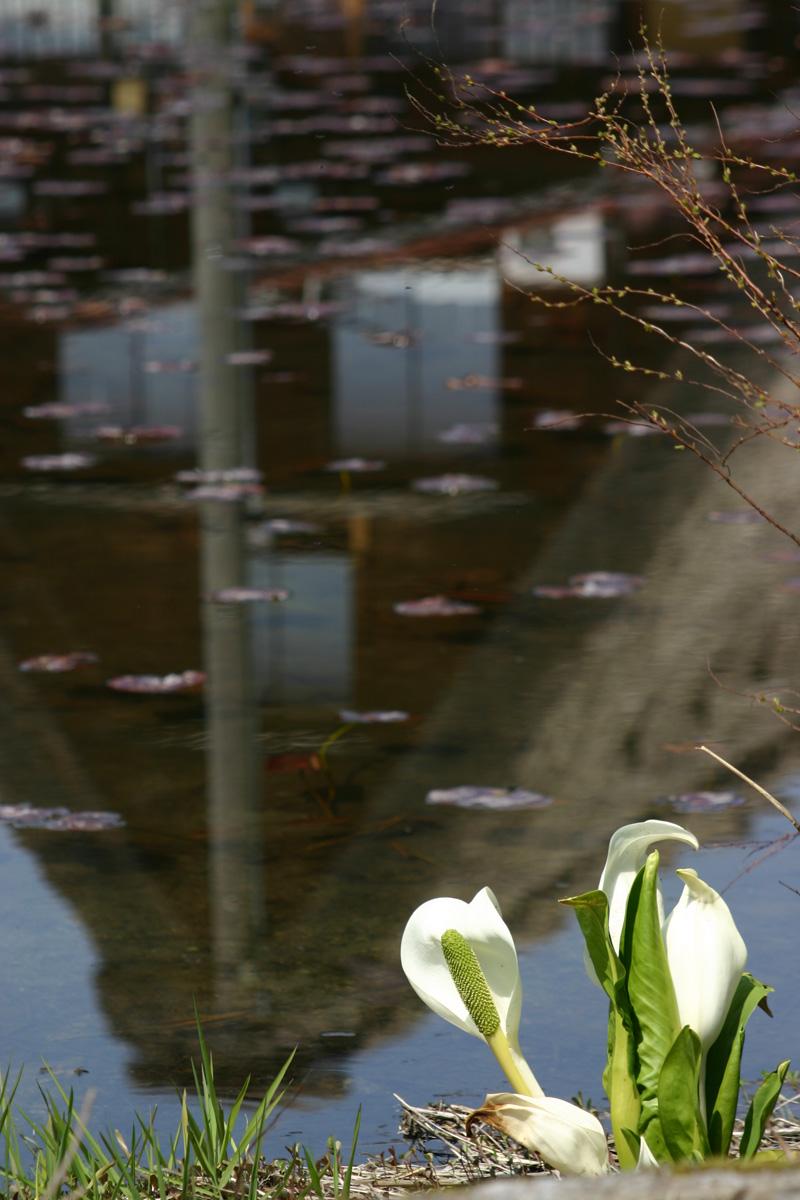 世界遺産 白川郷合掌集落~天守閣展望台~の桜のツボミは、 今、こんなです(n'∀')η ⑥