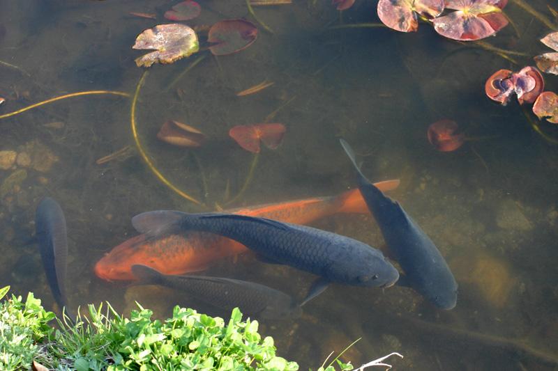 白川郷 天守閣展望台~サクラのツボミ膨らむ~鯉のぼりが春風にたなびいて泳いでいます ④