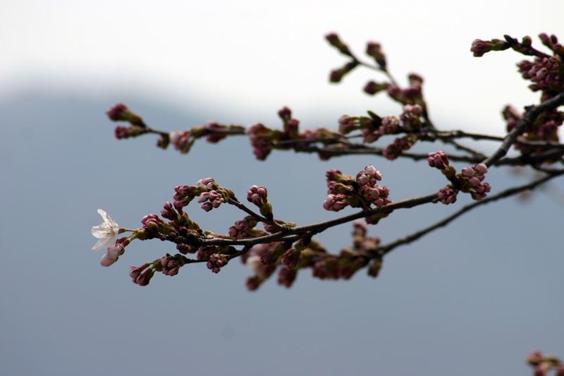 世界遺産白川郷荻町合掌集落~桜開花~現地から届く開花状況写真を随時更新中!おでかけ 前の参考にして、満開の桜を楽しもう!①