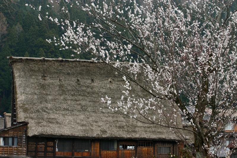 世界遺産白川郷荻町合掌集落~桜開花~現地から届く開花状況写真を随時更新中!おでかけ 前の参考にして、満開の桜を楽しもう!⑤