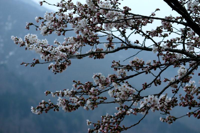 お出かけしないと損ですよ♪ \ 春はやっぱりお花見 世界遺産白川郷荻町合掌集落 サクラ開花 ①
