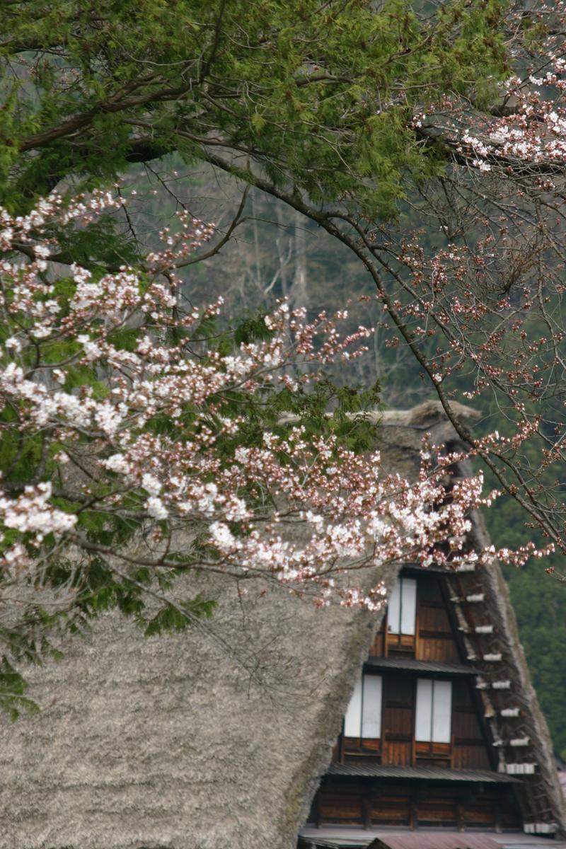 お出かけしないと損ですよ♪ \ 春はやっぱりお花見 世界遺産白川郷荻町合掌集落 サクラ開花 ④