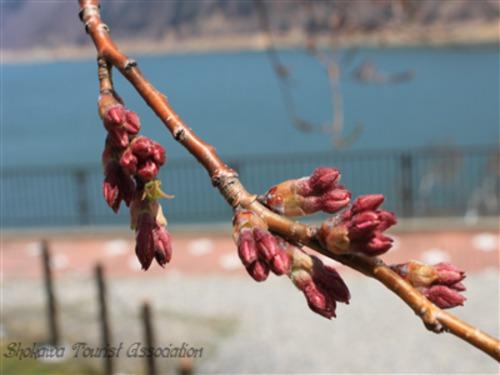 照蓮寺桜の花芽